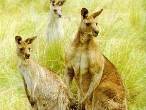 Австралия кенгуру